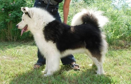 Якутская лайка крепкая среднего размера собака с